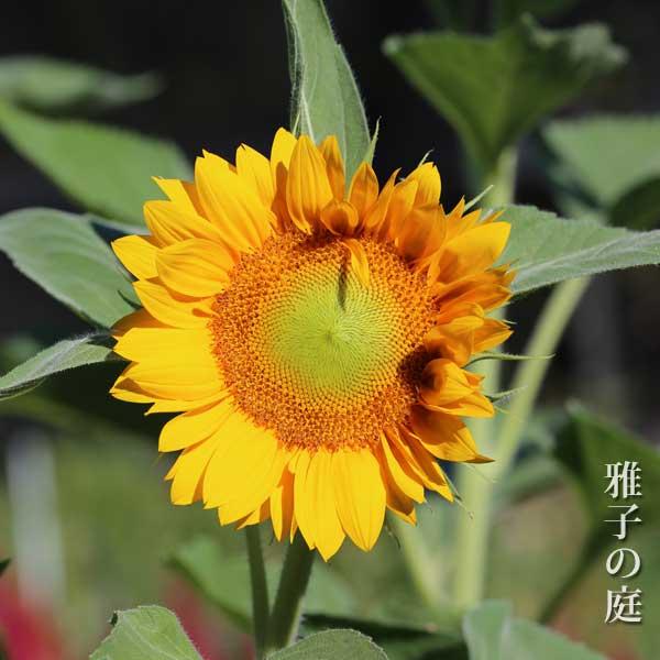 ヒマワリ Sun flower サンリッチ フレッシュオレンジ